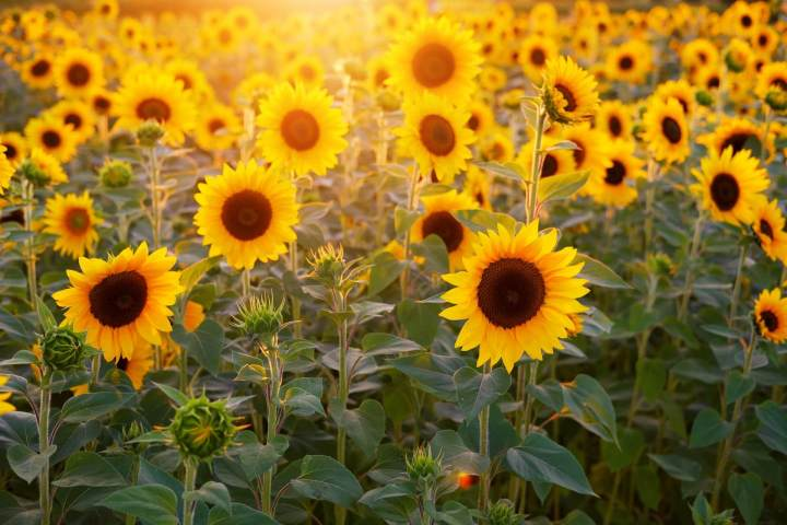 sunflower-3550693_1920-1